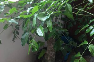 富贵树的风水作用