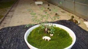 盆景放苔藓怎么浇水