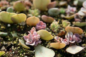多肉紫珍珠有毒吗