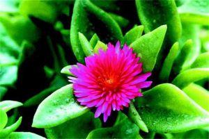 露子花与露草的区别