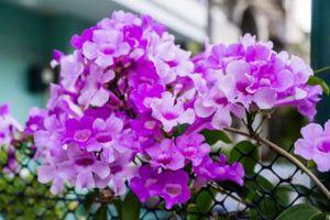 如何使蒜香藤在元旦开花