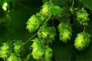 啤酒花的病虫害防治