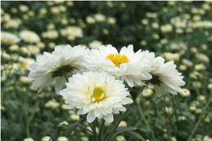 杭白菊的病虫害防治
