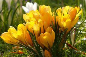 黄番红花的病虫害防治