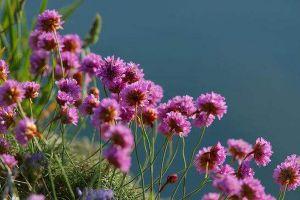 海石竹的病虫害防治