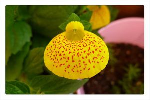 荷包花怎么繁殖