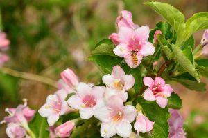 锦带花如何盆栽