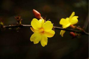 黄素馨盆栽怎么养护
