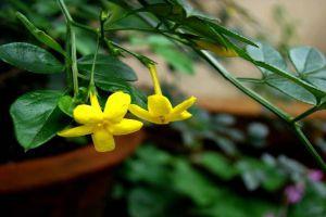 黄素馨盆栽怎么制作
