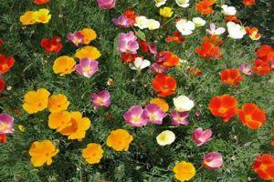 花菱草和虞美人的区别