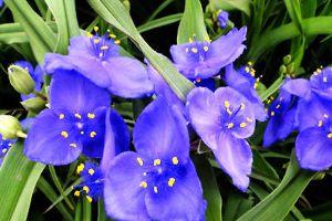 紫露草有毒吗
