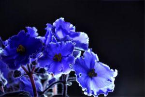 紫竹梅和紫罗兰的区别