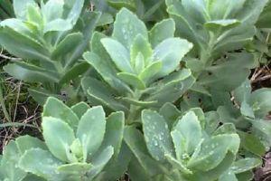 厚脸皮植物会影响风水吗?