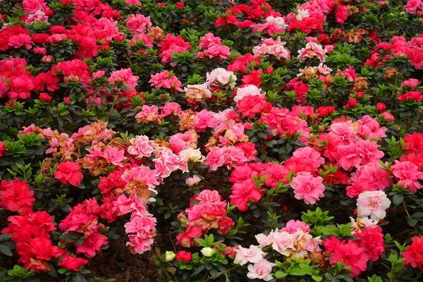西洋鹃开花时可以喷水吗