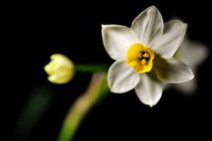 水仙花的香味有毒吗