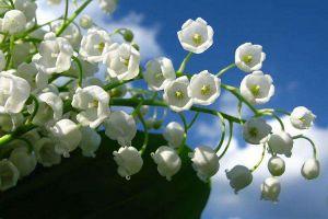 铃兰花可以水培吗?
