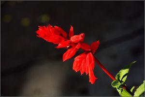 一串红的花语是什么
