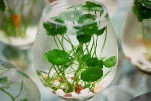 水培铜钱草的养殖方法和注意事项