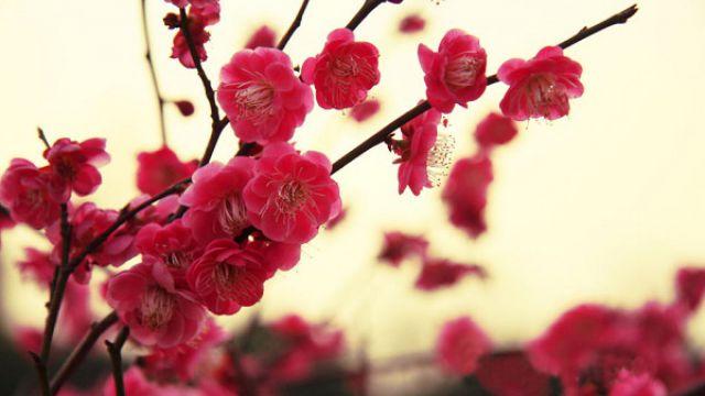 梅花与桃花的区别