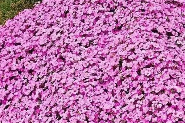 这10种花扔把种子就狂长,开爆阳台,根本停不下来!