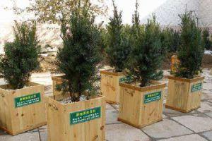 曼地亚红豆杉黄化的原因及解决方法