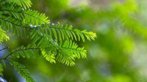 红豆杉为什么掉叶子