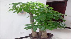 淘米水可以浇发财树吗