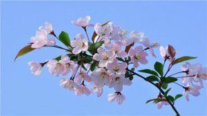 海棠花的养殖方法和注意事项