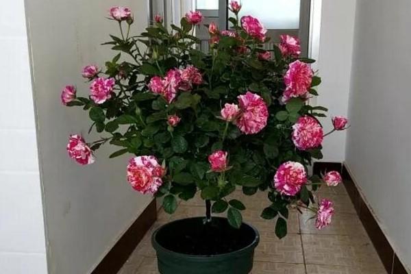 这9种花长成棒棒糖,只需3个小动作,邻居羡慕得翻墙偷!