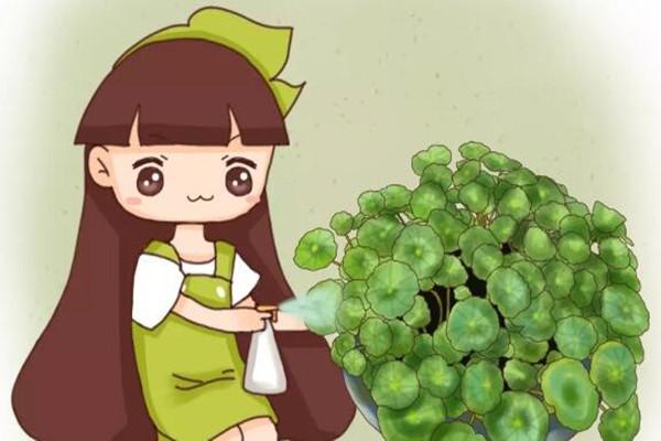 浇水加勺糖,叶子绿得流油,片片巴掌大!
