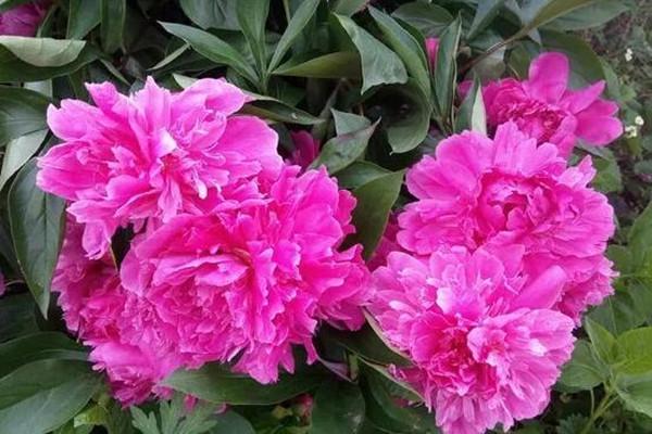 这7种花,开花大过拳头,不养后悔一辈子!