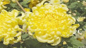 菊花的养殖方法和注意事项