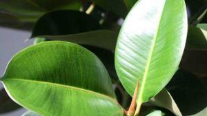橡皮树叶子发黄怎么办