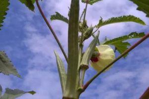 阳台种1棵秋葵,连结3个月果子,吃完一茬又一茬!