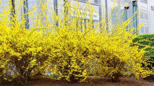 连翘与迎春花的区别