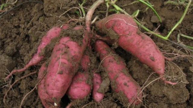 阳台种红薯的方法