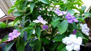 双色茉莉的养殖方法和注意事项
