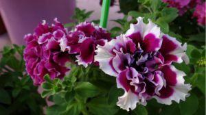 16款花期超长的花