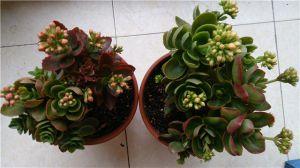 长寿花常见虫害防治方法