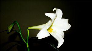百合花为什么要摘掉花蕊