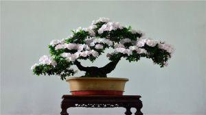 怎样制作出漂亮的杜鹃花盆景