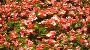 四季海棠养殖注意事项