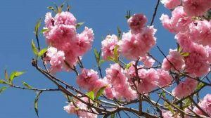 樱花和樱桃的区别