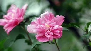 木槿的花语和传说