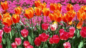 不同颜色郁金香的花语