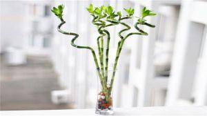 富贵竹的水培方法