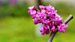 紫荆的花语及传说