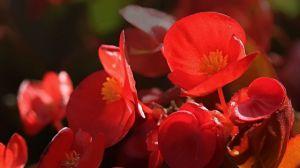 四季海棠叶子卷缩发黄怎么办