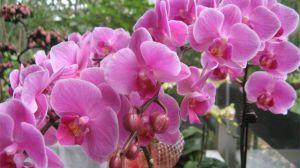 蝴蝶兰什么时候开花