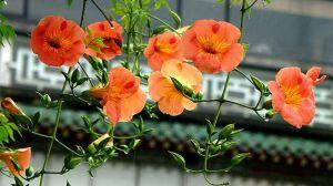 凌霄花的花语及传说